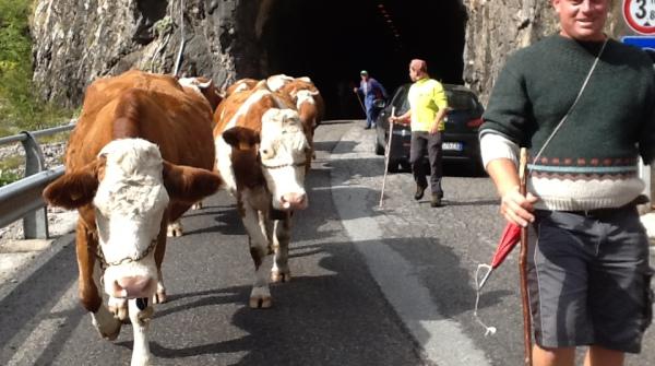 Con le mucche in cammino per tornare dagli alpeggi: si seguono sentieri ma anche strade asfaltate